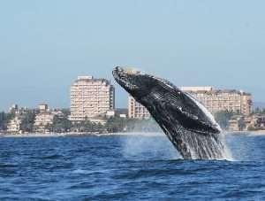 whales-puerto-vallarta